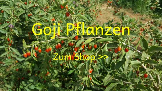 Goji Pflanzen Shop